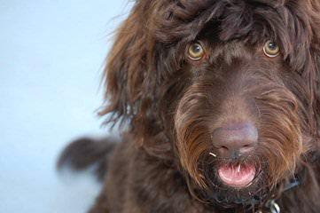 Read's Doodles Australian Labradoodles - Dog Breeders