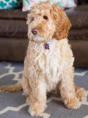 Noble Vestal Labradoodles - Dog and Puppy Pictures