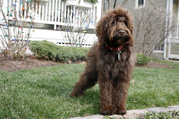 Ocean View Labradoodles - Dog Breeders