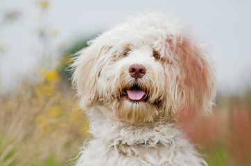 French Quarter Labradoodles – OHIO - Dog Breeders