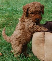 Country Labradoodles Multi-Generation Australian Labradoodles From Rutland Manor Breeding Stock - Dog Breeders
