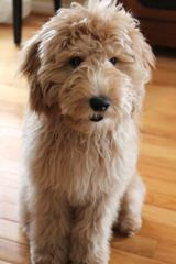 Vinton Valley Australian Labradoodles - Dog Breeders