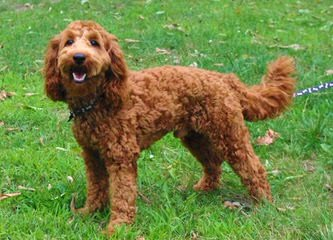 Nutmeg Labradoodles - Dog and Puppy Pictures