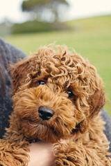BelleauWood Labradoodles - Dog Breeders