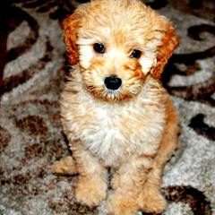 Crystal Creek Australian Labradoodles - Dog Breeders