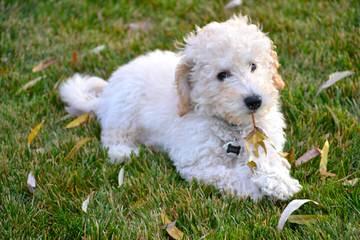 French Quarter Labradoodles – OHIO - Dog Breeders