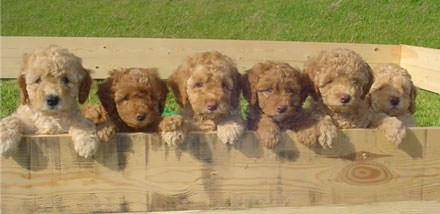 Noble Vestal Labradoodles - Dog Breeders