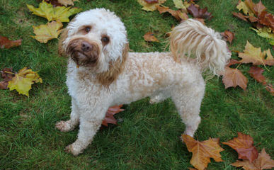 Labradoodle Story Tails - Dog and Puppy Pictures