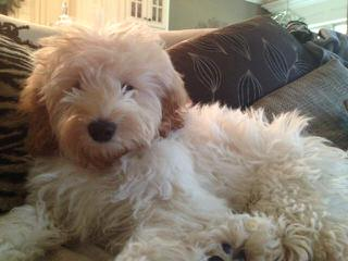 Read's Doodles Australian Labradoodles - Dog and Puppy Pictures