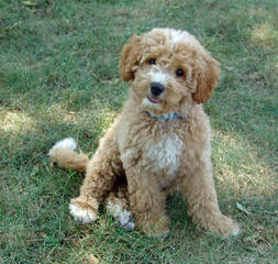 Melorich Australian Labradoodles:Standards & Mediums: Available - Dog Breeders