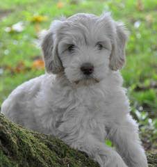 PRLabradoodles - Dog Breeders