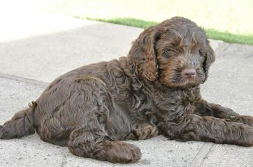 Aaaa Tegan Australian Labradoodles Creator Of The Pure Original Australian Labradoodle - Dog Breeders