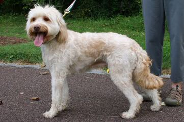 Puppy Patch Labradoodles - Dog Breeders