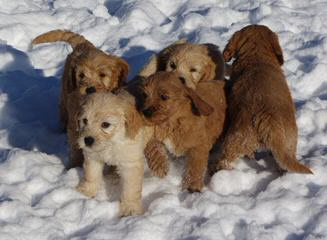 Evergreen Manor Labradoodles - Dog and Puppy Pictures