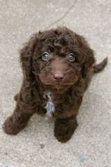 Whispering Winds Labradoodle Puppies - Dog and Puppy Pictures