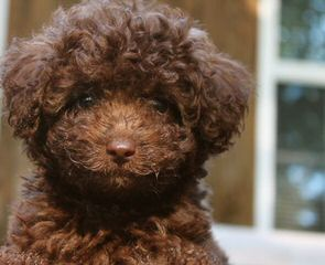 Over The Moon Australian Labradoodles - Dog Breeders
