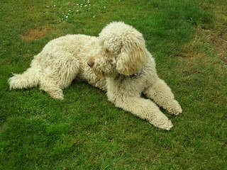 Ladd Hill Labradoodle - Dog and Puppy Pictures
