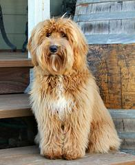 Whispering Winds Labradoodle Puppies - Dog Breeders