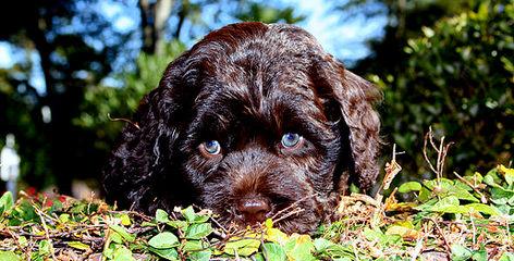 FernRidge Labradoodles - Dog Breeders