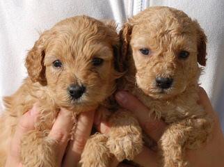 Labradoodle Angels - Dog Breeders