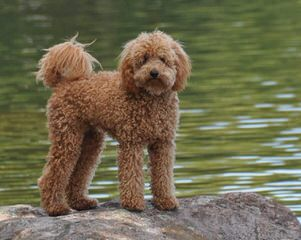 BelleauWood Labradoodles - Dog Breeders