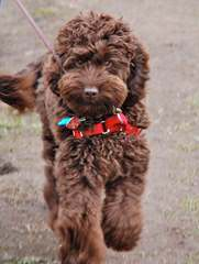 FernRidge Labradoodles - Dog and Puppy Pictures