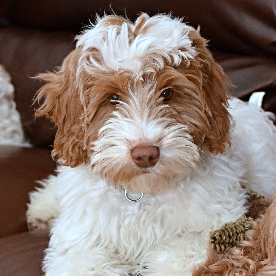 4 Paws Puppies Raises F1b Australian Labradoodles And Australian Multi Gen Puppies! - Dog Breeders