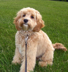 Australian Labradoodle Puppies For Sale / Australian Labradoodle Dog