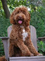 Country Club Labradoodles - Dog Breeders
