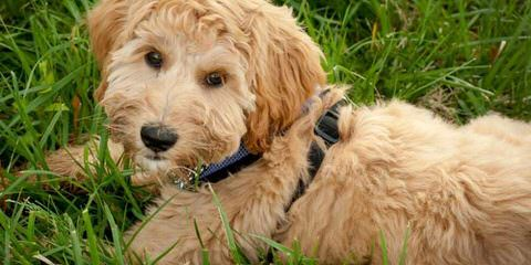 Miniature Australian Labradoodles - Dog and Puppy Pictures