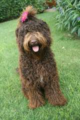 By The Bay Labradoodles - Dog Breeders
