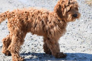ArborGate Labradoodles - Dog and Puppy Pictures