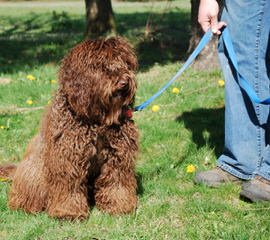 Seaspray Australian Labradoodles – Medium Labradoodles, Standand Labradoodles, Mini Labradoodle - Dog Breeders