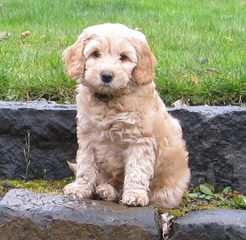 A Walk In The Park Labradoodles Has Alf4 Labradoodle Puppies! A Male And A Female. - Dog Breeders