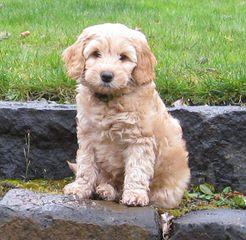 Van Isle Doodles - Dog Breeders