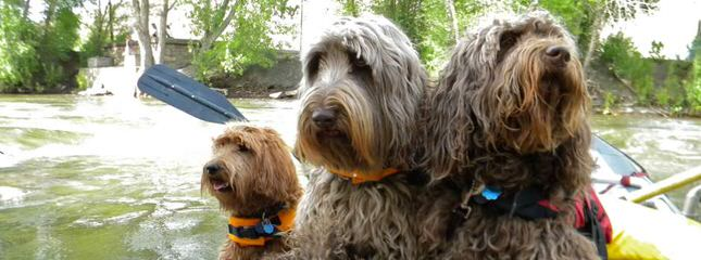 Hunterberry Hill Labradoodles - Dog Breeders