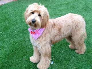 Evergreen Manor Labradoodles - Dog Breeders