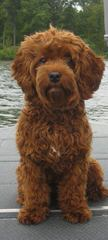 Ocean View Labradoodles - Dog and Puppy Pictures