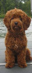 Ashford Manor Labradoodles - Dog Breeders