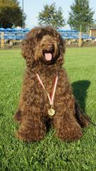 Gemstone Aussie Labradoodles - Dog Breeders