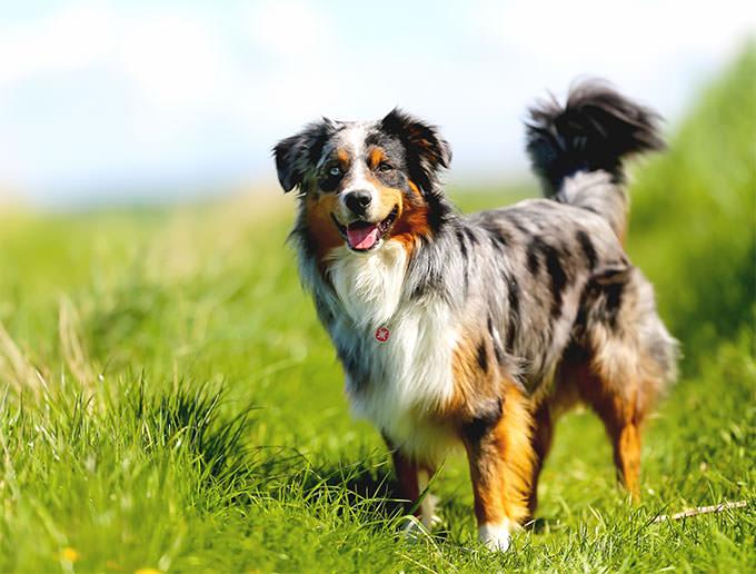 Australian Shepherd Dogs and Puppies
