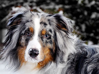 Andrews Australian Shepherds - Dog Breeders