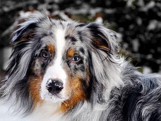 Desertroseaustralianshepherds - Dog Breeders