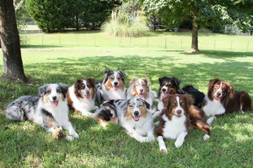 Working Australian Shepherds - Dog Breeders