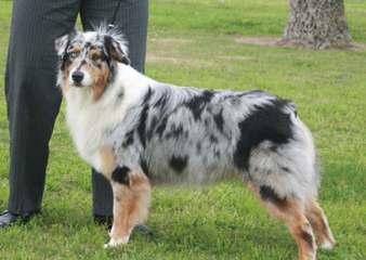 Pur-Plesur Australian Shepherds - Dog Breeders