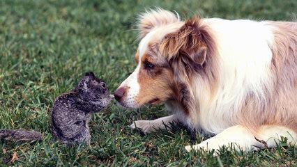 Working Australian Shepherds - Dog Breeders