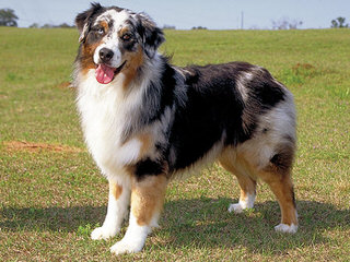 Diamond in the rough ranch Aussie's - Dog Breeders