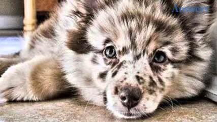 Jamara Australian Shepherds - Dog Breeders