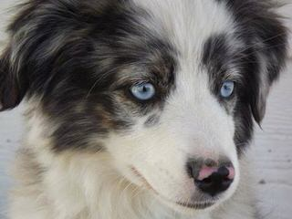 Australian Shepherds - Dog Breeders