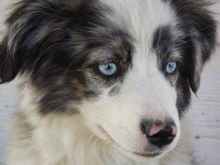 Australian Shepherds-Cherokeewind Kennels Of Mi - Dog Breeders